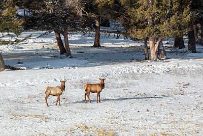 Rabbit Marcus The Great - Pair of Winter Morning Elk Herd by Steven Krull