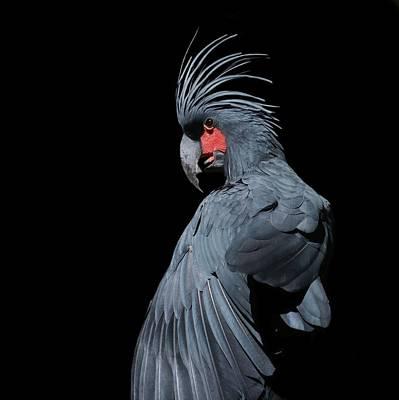 Photograph - Palm Cockatoo by Rogersmithpix