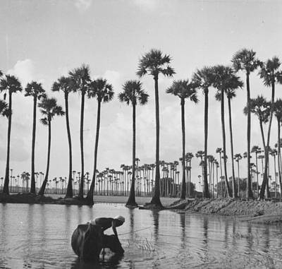 Photograph - Palm Trees by Bert Hardy