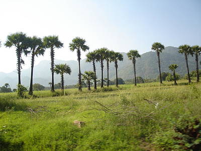 Kerala Photograph - Palm Trees Of Palakkad, Kerala by Nisthar P