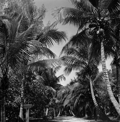 Photograph - Palm Trees by Robert Natkin