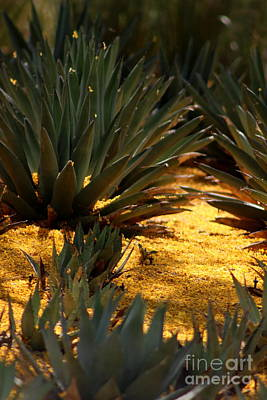 Photograph - Palo Brea Blossomes Covering Agave Gardens by Colleen Cornelius