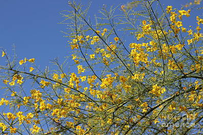 Photograph - Palo Brea Tree In Bloom Against Desert Sky by Colleen Cornelius