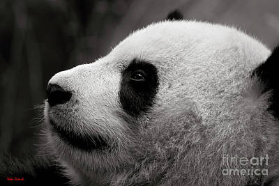Photograph - Panda Bear Looking Up by Blake Richards