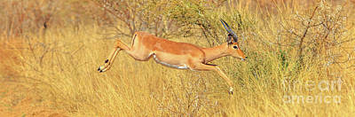 Photograph - Panorama Impala Jumps by Benny Marty