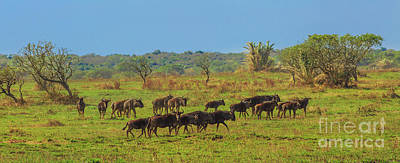 Photograph - Panorama Of Wildebeests by Benny Marty