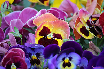 Photograph - Pansies Santa Fe by Ron Monsour