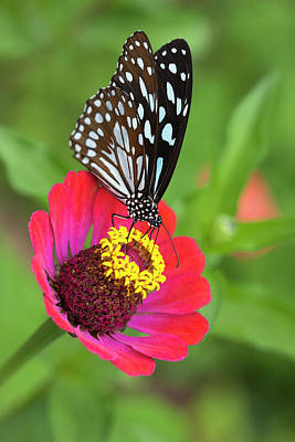 Photograph - Paper Kite Butterfly On A Wild Flower by Enviromantic