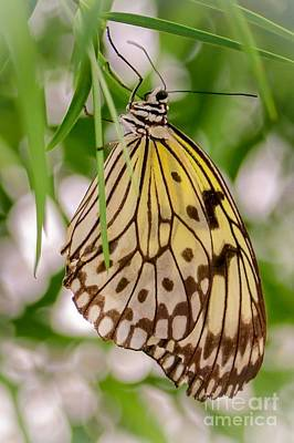 Photograph - Paper Kite Butterfly by Susan Rydberg