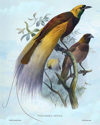 Animals Drawings - Paradisea Apoda, Great Bird of Paradise by Joseph Wolf - Joseph Smit