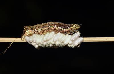 Photograph - Parasitized Caterpillar by Larah McElroy