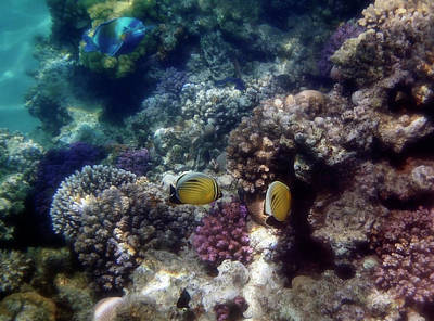 Photograph - Parrotfish Butterflyfish And Colorful Corals Of The Red Sea by Johanna Hurmerinta