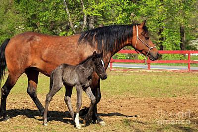 Photograph - Paso Fino Horses by Jill Lang