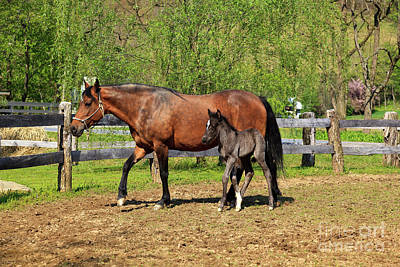 Photograph - Paso Fino Mare Horse And Her Cute Colt by Jill Lang