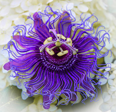 Photograph - Passiflora Incarnata by Venetia Featherstone-Witty