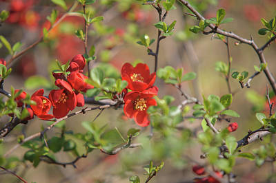 Photograph - Passionate Red Of Chinese Quince 1 by Jenny Rainbow