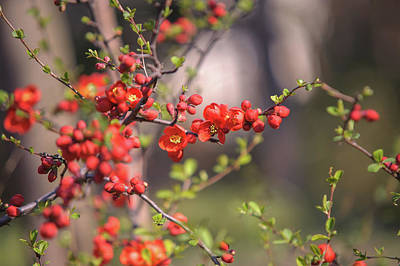 Photograph - Passionate Red Of Chinese Quince 3 by Jenny Rainbow