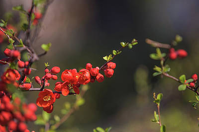 Photograph - Passionate Red Of Chinese Quince 5 by Jenny Rainbow