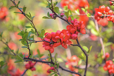 Photograph - Passionate Red Of Chinese Quince 7 by Jenny Rainbow