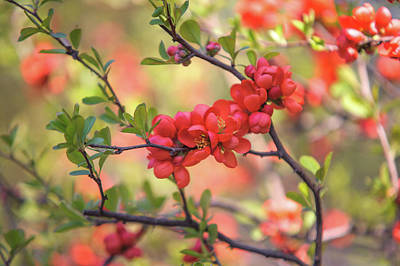 Photograph - Passionate Red Of Chinese Quince 8 by Jenny Rainbow