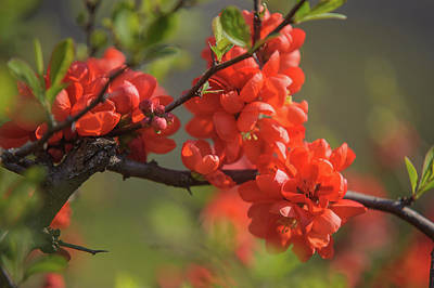 Photograph - Passionate Red Of Chinese Quince by Jenny Rainbow