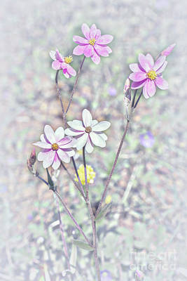 Photograph - Pastel Paper Daisies by Elaine Teague