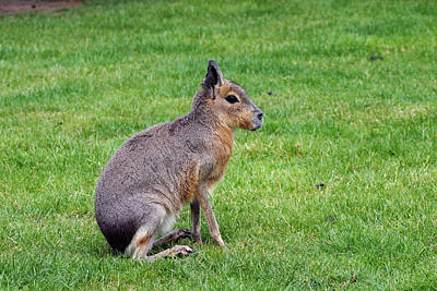 Photograph - Patagonian Hare by David Hosking