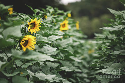 Photograph - Path through the sunflowers by Marilyn Nieves