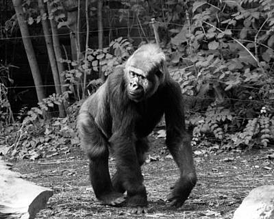 The Bronx Photograph - Pattycake, The Gorilla by New York Daily News