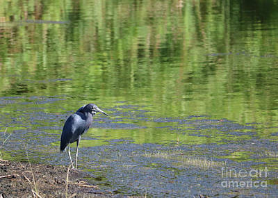 Photograph - Peaceful Pond With Little Blue Heron by Carol Groenen