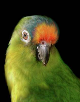 Photograph - Peachfront Conure by Perry Correll