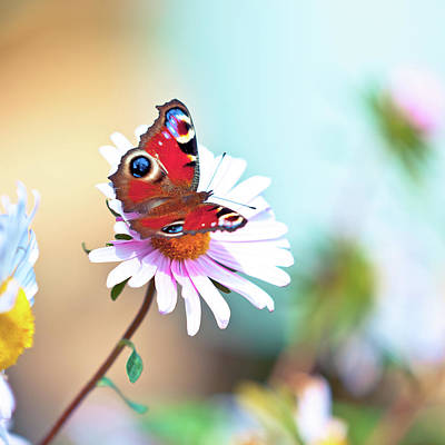 Photograph - Peacock Butterfly Pollinating Daisy by Pawel.gaul