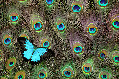 Photograph - Peacock Feathers & Blue Butterfly by Darrell Gulin