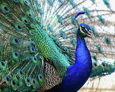 Photograph - Peacock by KC Hulsman