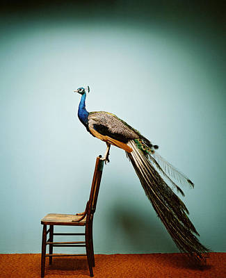Animal Animal Photograph - Peacock Pavo Cristatus On Chair by Catherine Ledner