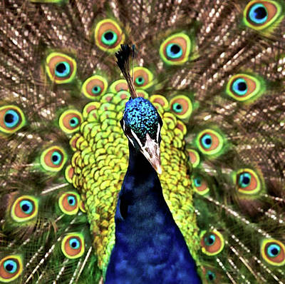 Photograph - Peacock by Pete Hunt
