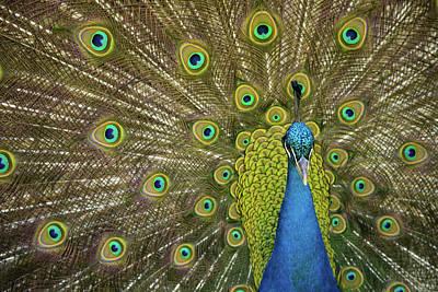 Photograph - Peacock by Reyaz Limalia