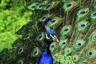 Photograph - Peafowl Beauty by Karol Livote