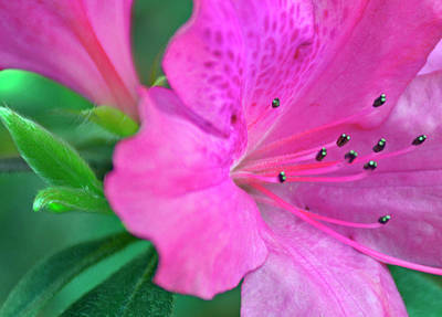 Photograph - Peak Pink Azaleas by Bruce Gourley