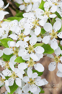 Photograph - Pear Michaelmas Nelis Blossom In Spring by Tim Gainey