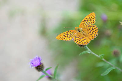 Photograph - Pearl Bordered Fritillary Butterfly by Helen Northcott