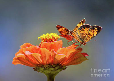 Photograph - Pearl Crescent Butterfly Couple Up Close by Karen Adams