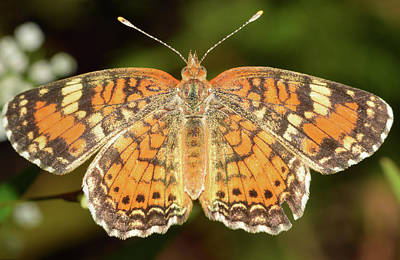 Photograph - Pearl Crescent Butterfly by Larah McElroy