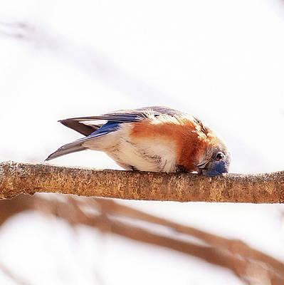 Photograph - Peek-a-boo Blue Bird by Lara Ellis