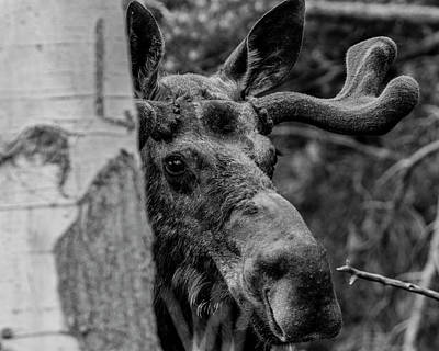 Photograph - Peek-a-moose by ProPeak Photography