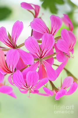 Photograph - Pelargonium Ville De Paris Flowers  by Tim Gainey
