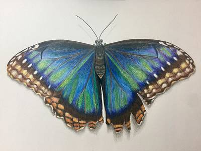 Still Life Drawings - Peleides Blue Morpho Butterfly by Beatriz Portela