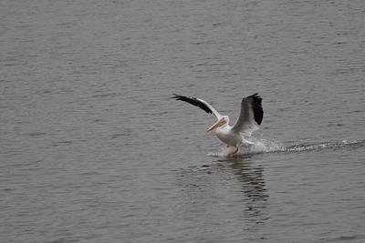 Photograph - Pelican 3056 by John Moyer