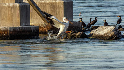Photograph - Pelican Coming Aboard by Jack Peterson