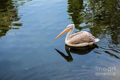 Target Threshold Nature - Pelican floating in the lake by Maor Winetrob
